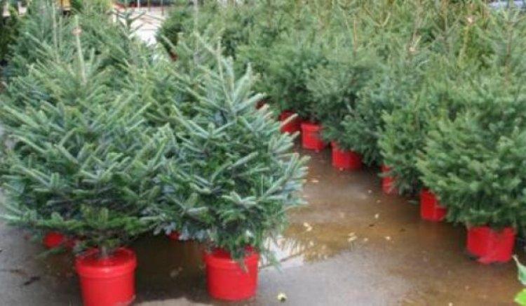 Млади социалисти дариха елхи на незрящи